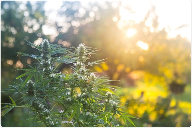 Uses of Cannabis and Where to Buy Weed in Canada