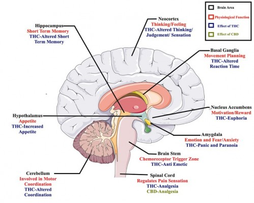 Therapeutic potential of Marijuana